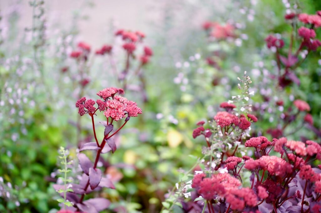 orpine, flowers, flower meadow